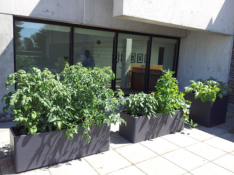 Thanks to the Healthy Workplace Initiative Program, staff and faculty at MOA are able to grow tomatoes, lettuce, swiss chard, kale, and other organic edibles. Photo credit: Melanie Lawrence